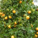 Làm gì để chọn mua được cây quất đẹp trong ngày tết